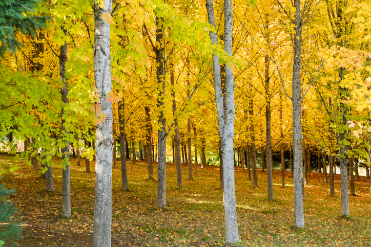 A Sugar Maple Tree Farm forest in autumn with brilliant yellow leaves in Oregon, USA