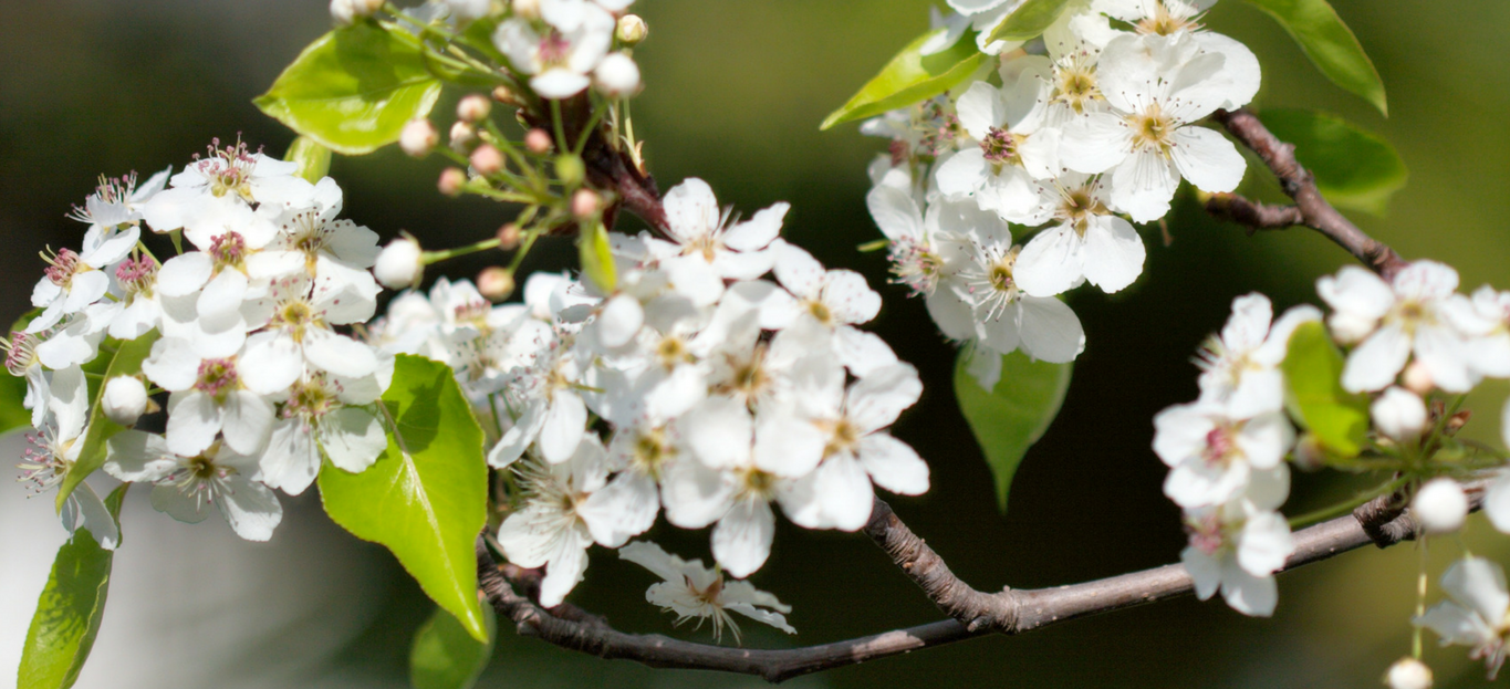 What Is That Smell Meet The Callery Pear Tree Premier Tree Solutions