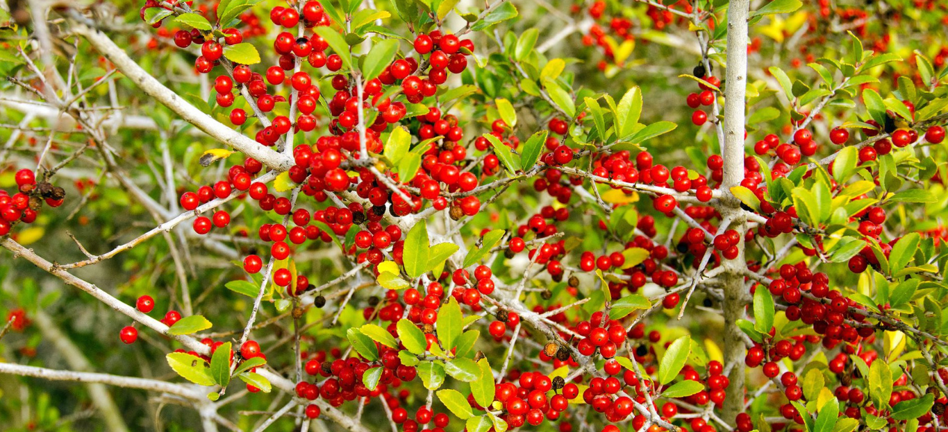 Yaupon Holly Tree
