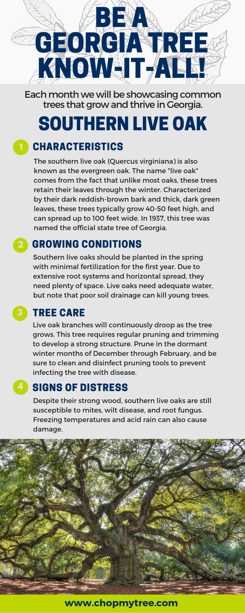 Southern Live Oak Tree Infographic
