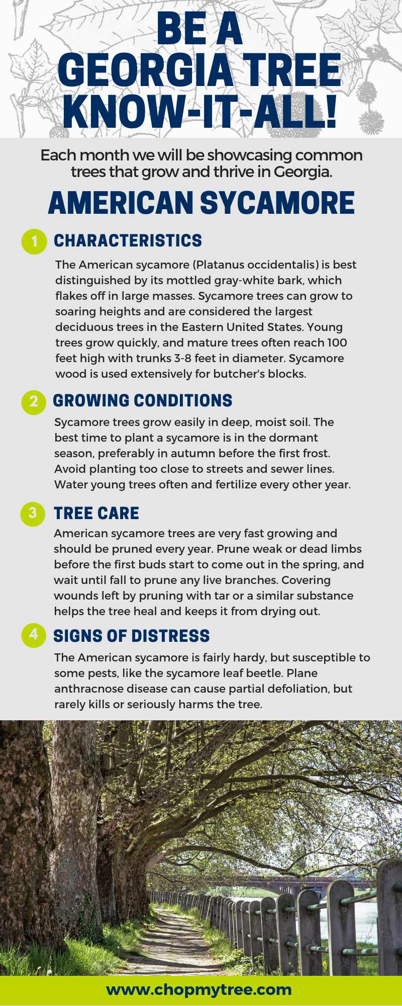 American Sycamore tree infographic