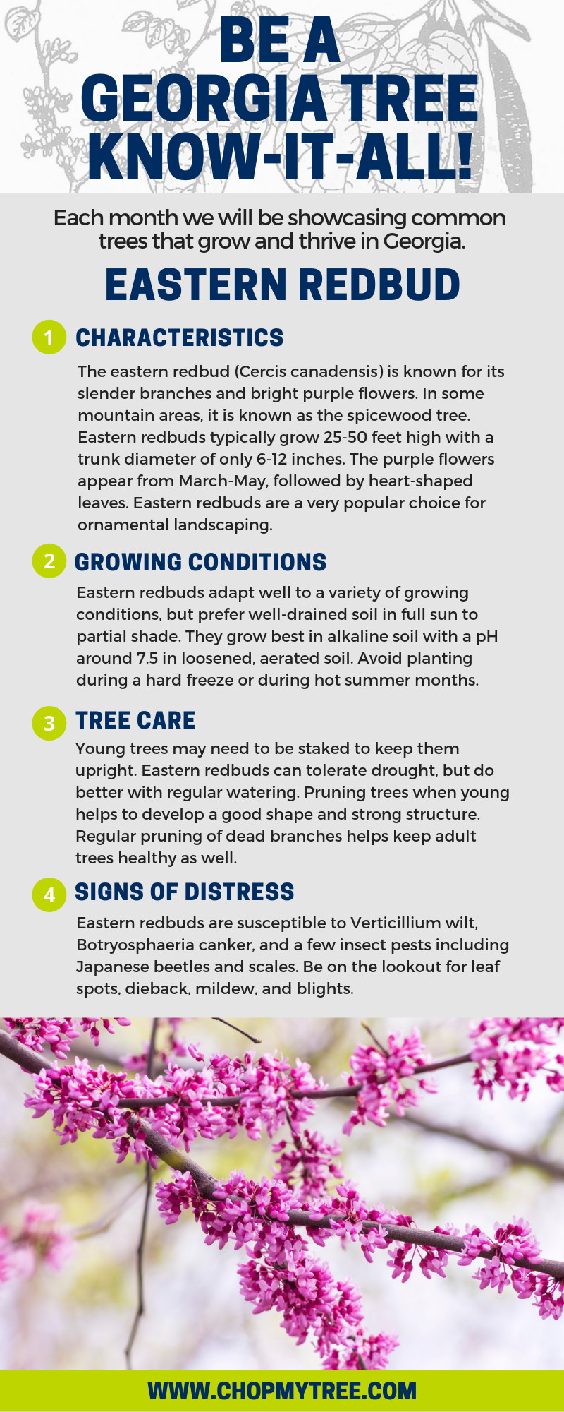 Infographic of the characteristics, growing conditions, tree care, and signs of distress of the eastern redbud tree.