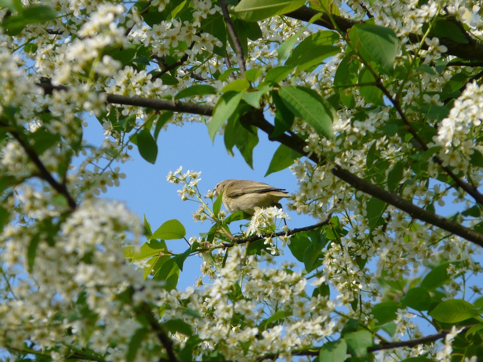 A photo of a Black Cherry tree with a bird in the branches, one of the trees that bloom in the summer in Georgia.