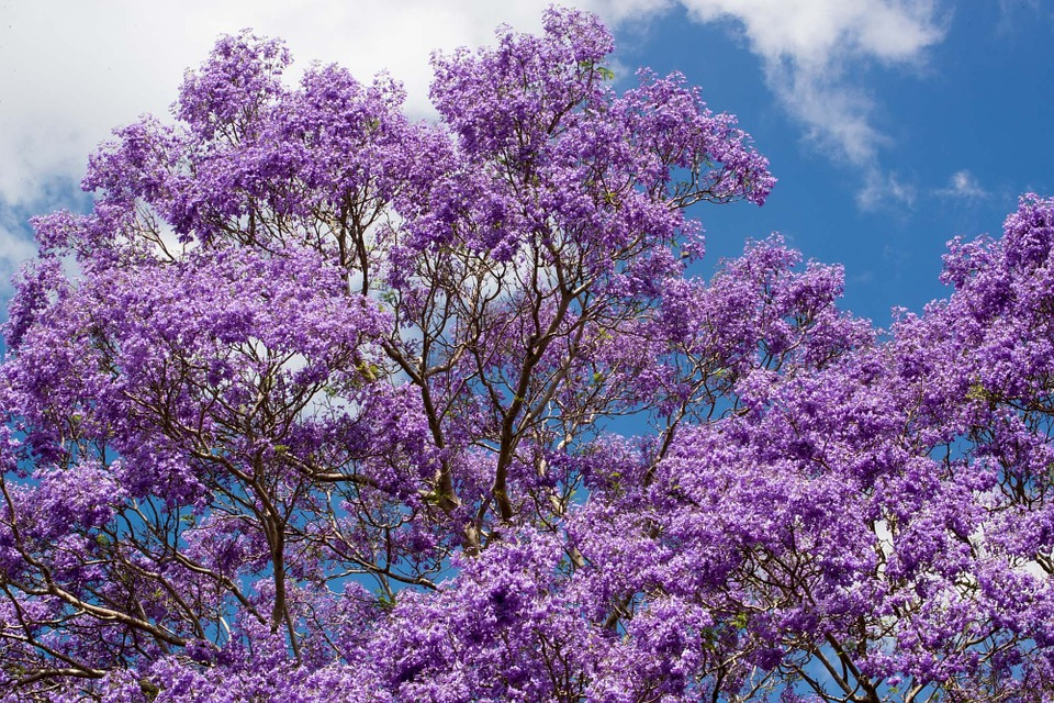 A photo of a Jacaranda tree, one of the trees that bloom in the summer in Georgia.