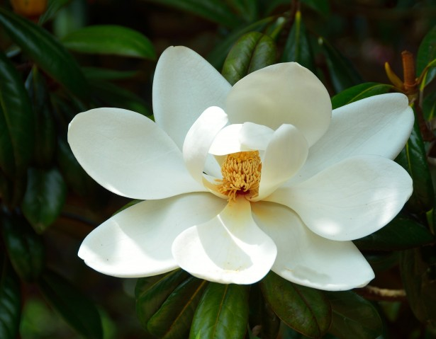 A photo of the Magnolia Tree flower blossom, one of the trees that bloom in the summer in Georgia.
