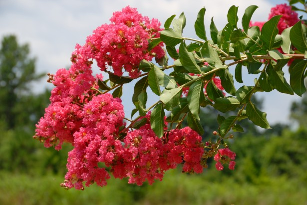 A photo of a bloom on a crepe myrtle tree, one of the trees that bloom in the summer in Georgia.