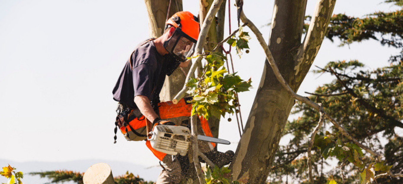 A man doing tree removal, strapped to a tree and with a chainsaw.