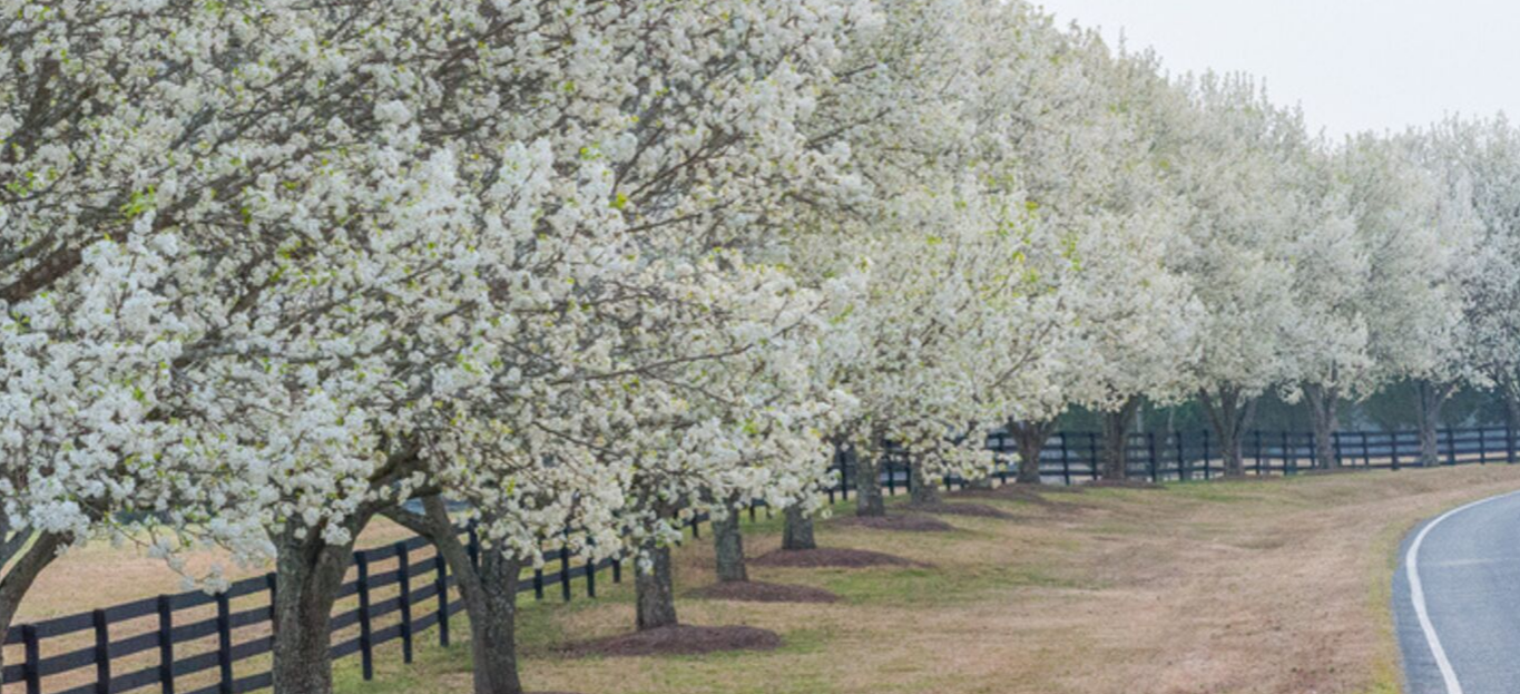 Photo of Bradford Pear Trees.