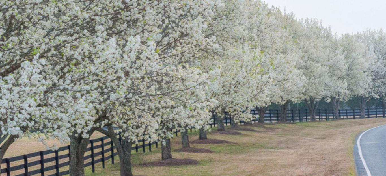 Photo of Bradford Pear Trees.
