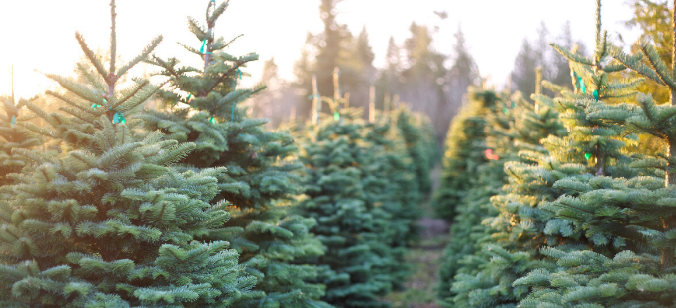 Several Christmas Trees at a farm, showing How to Pick Out the Best Christmas Tree.