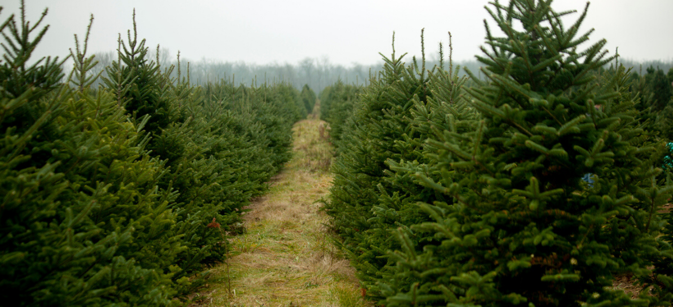Photo of Christmas trees standing up in a Christmas tree farm, perfect for Tips for Cutting Your Own Christmas Tree.