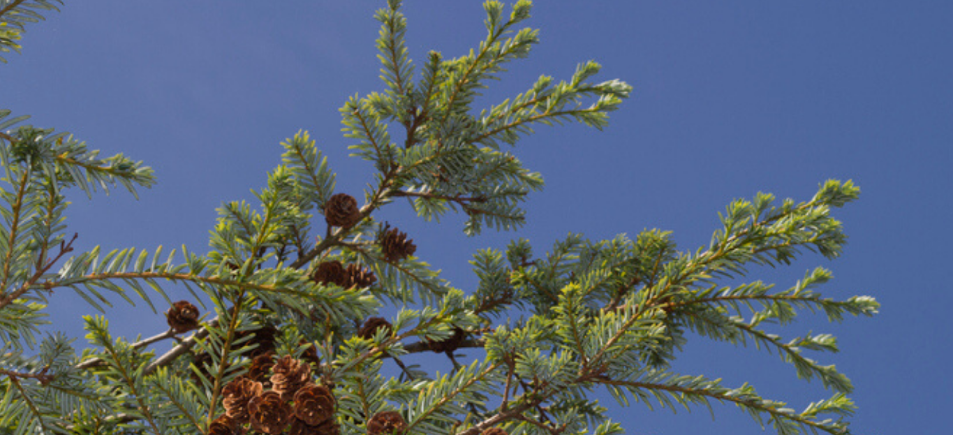 Photo of an Eastern Hemlock branch.