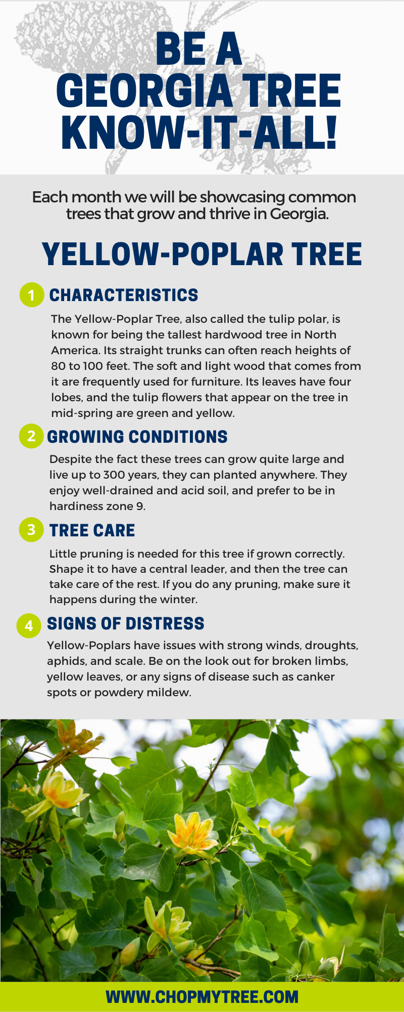Yellow Poplar Infographic.