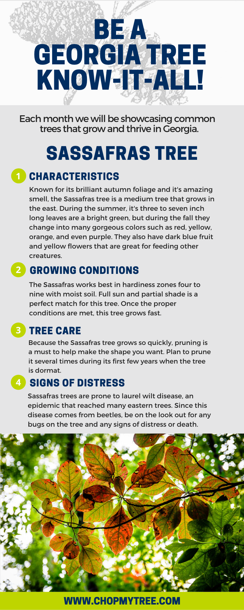 Sassafras Tree of the Month infographic.