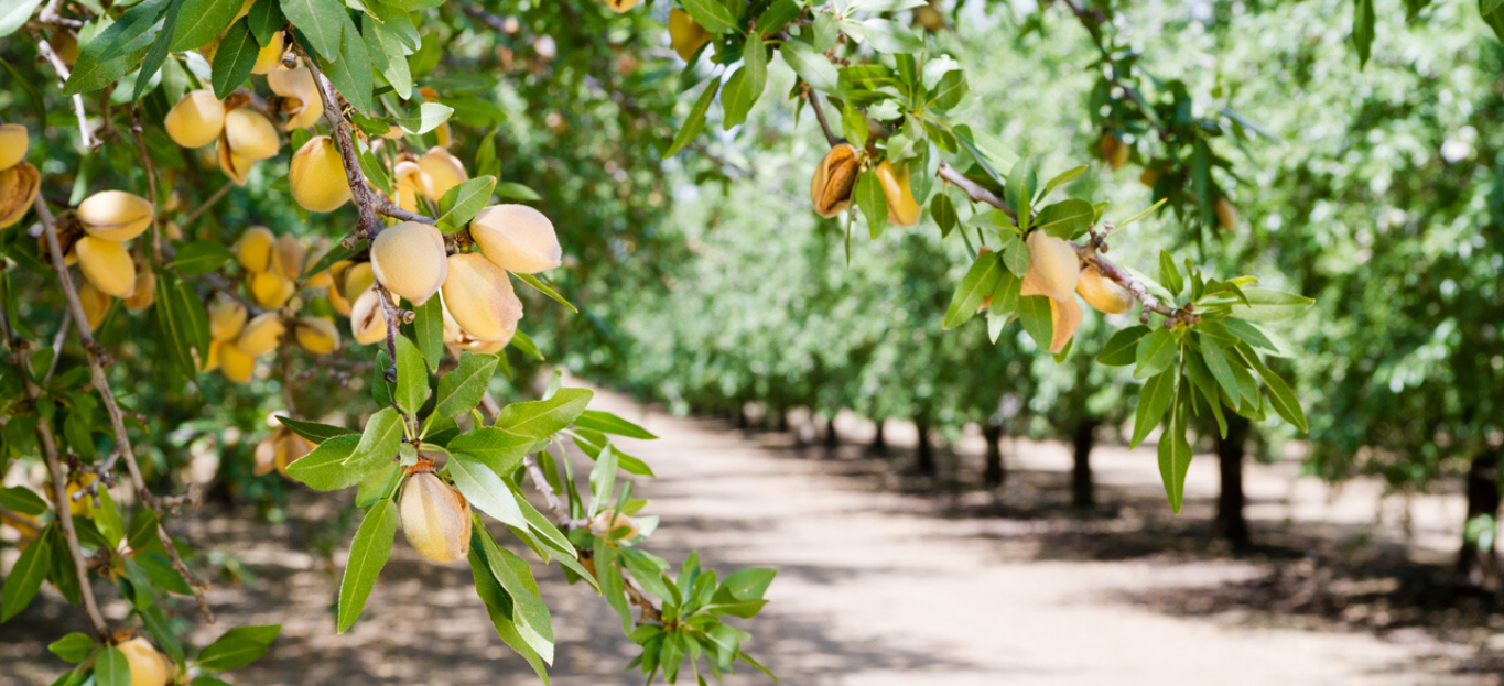 Close up of Almond trees, top profitable trees to grow on your property.