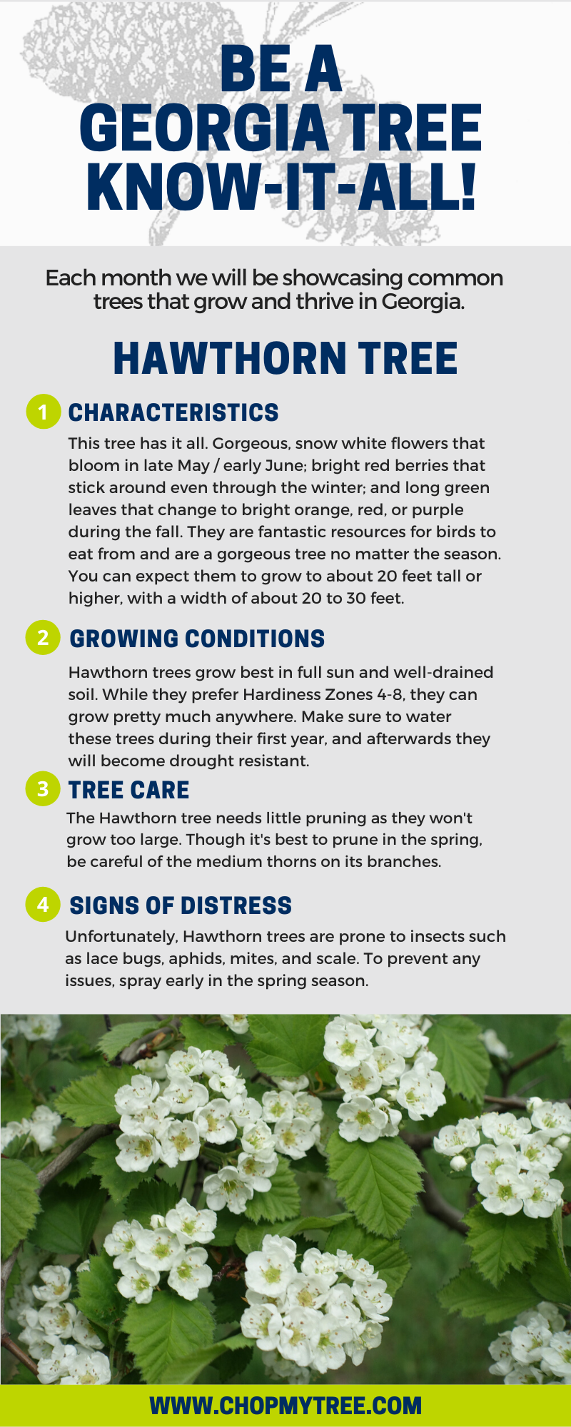 Hawthorn Tree of the Month Infographic.