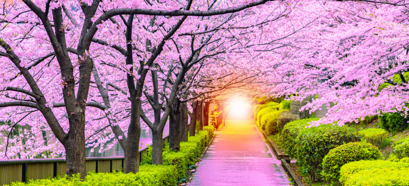 Pink Trees blossoming with a lot of flowers over a pathway, the sun setting in the distance, highlighting Make Up Your Mind! What Changing Weather Can Do To Your Trees.