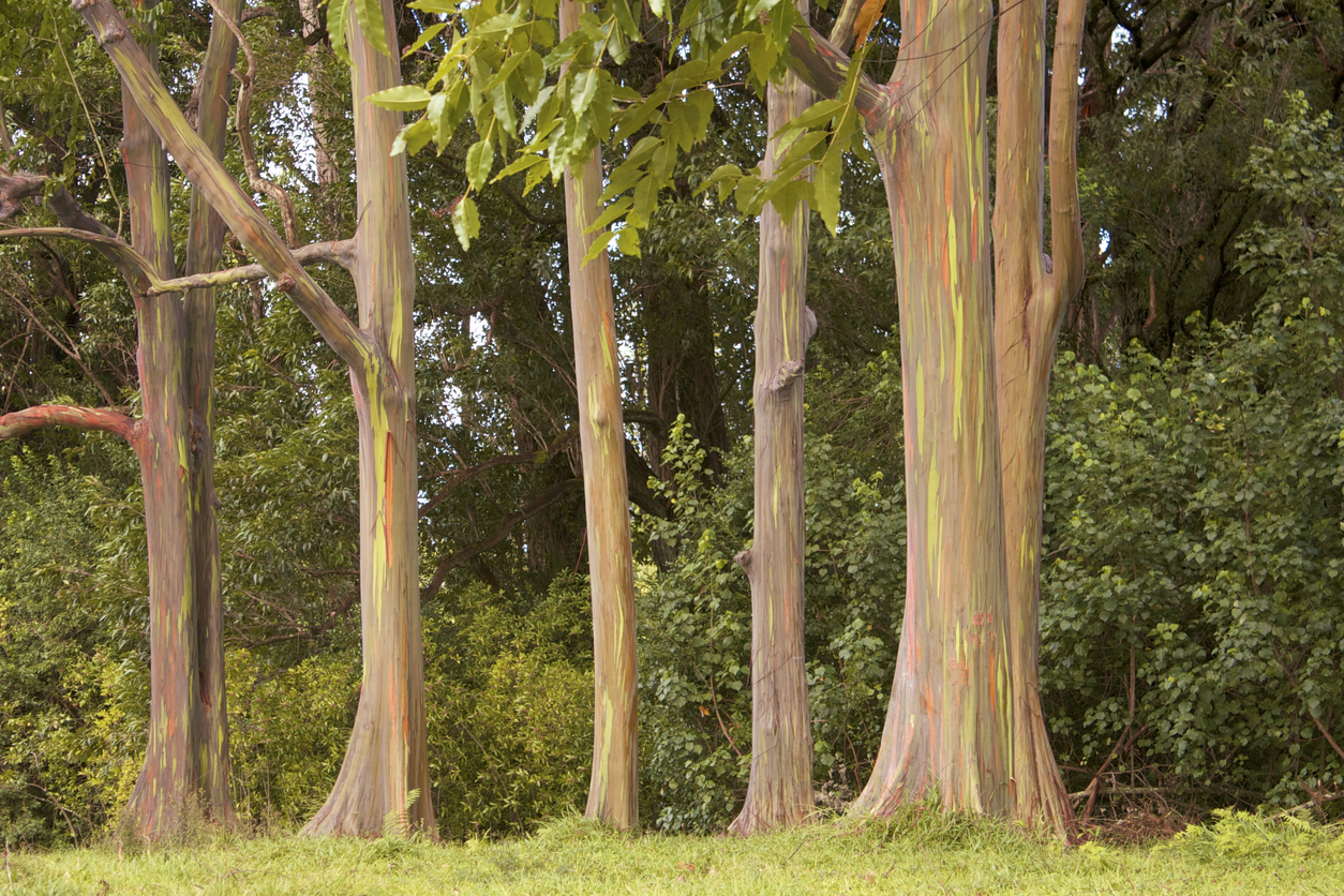 A stand of rainbow eucalyptus trees in a meadow on the island of Maui.