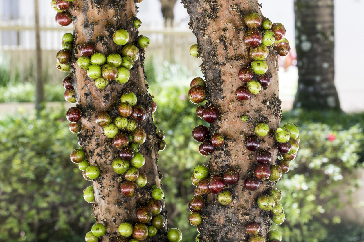 Fruit. Exotic. Jabuticaba in the tree. Jaboticaba is the native Brazilian grape tree. Species Plinia cauliflora.