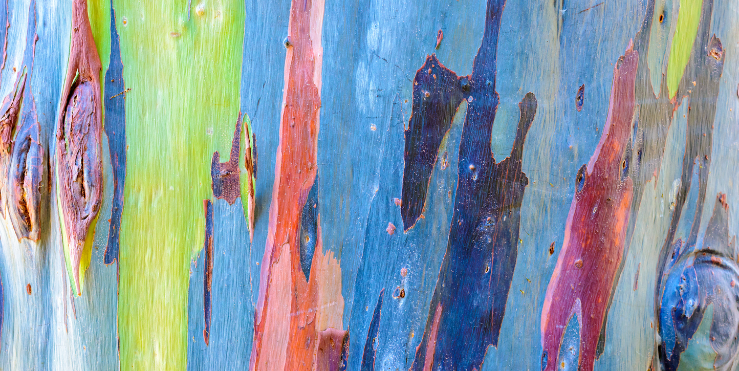 Colorful trunk of the rainbow eucalyptus tree, highlighting Weird Tree Tour.