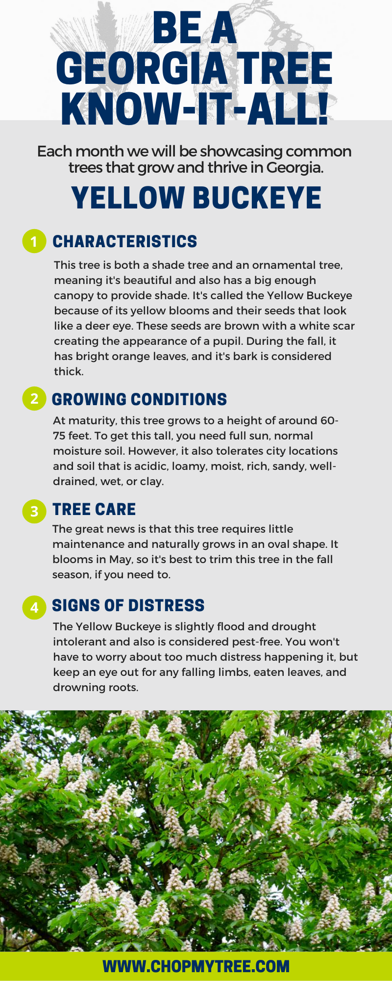 Infographic with Yellow Buckeye information.