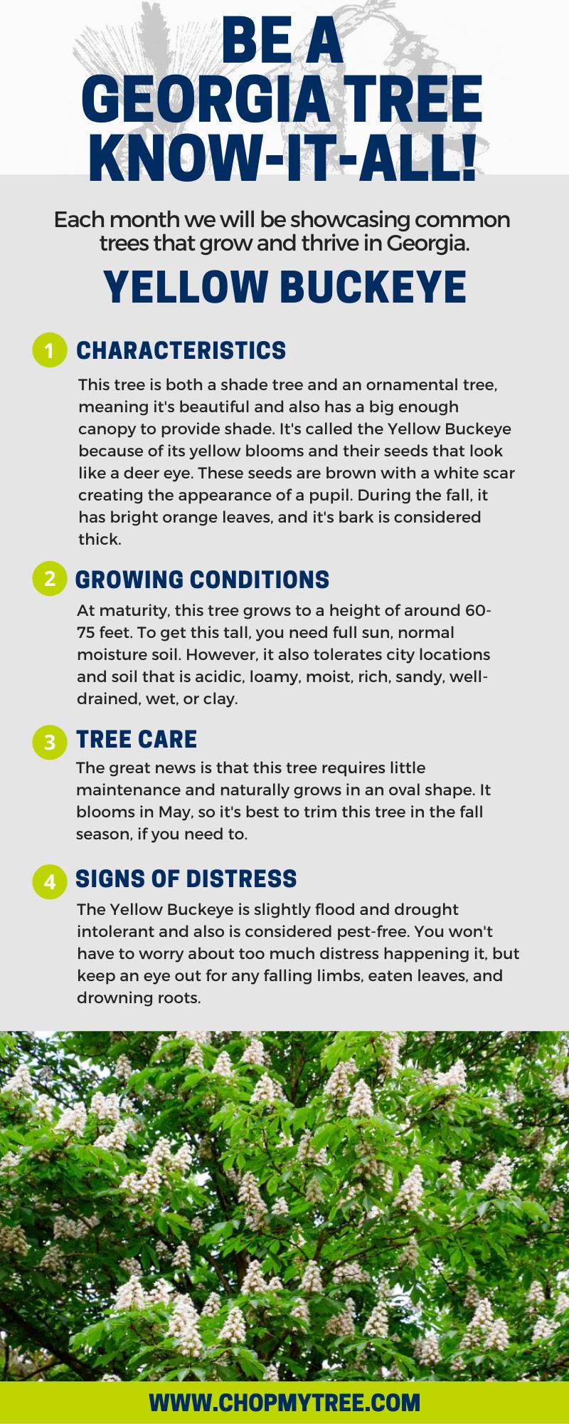 Infographic with Yellow Buckeye information.