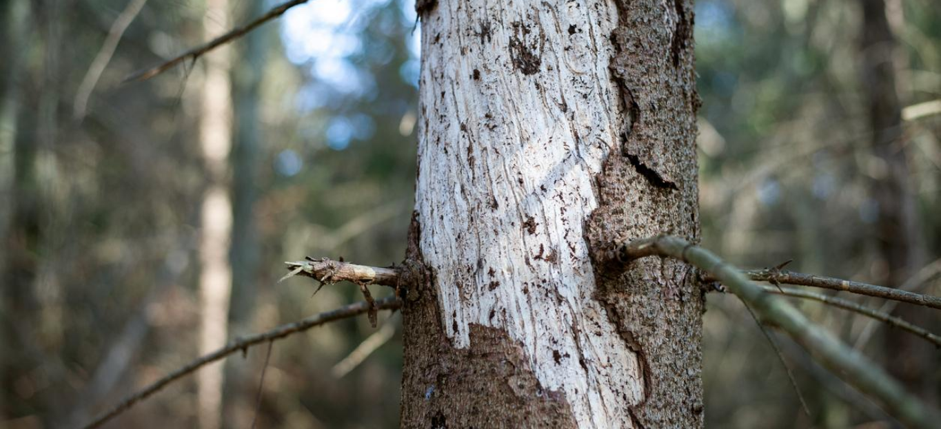 Ill tree in central Europe attacked by bark beetle, not showing an example of Pest-Resistant Trees.