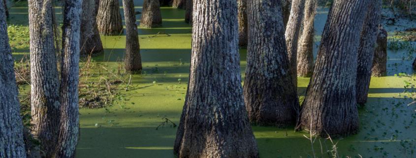 swamp tupelo trees in green duckweed