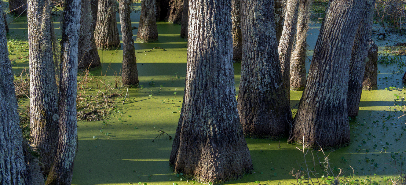 swamp tupelo trees in green duckweed