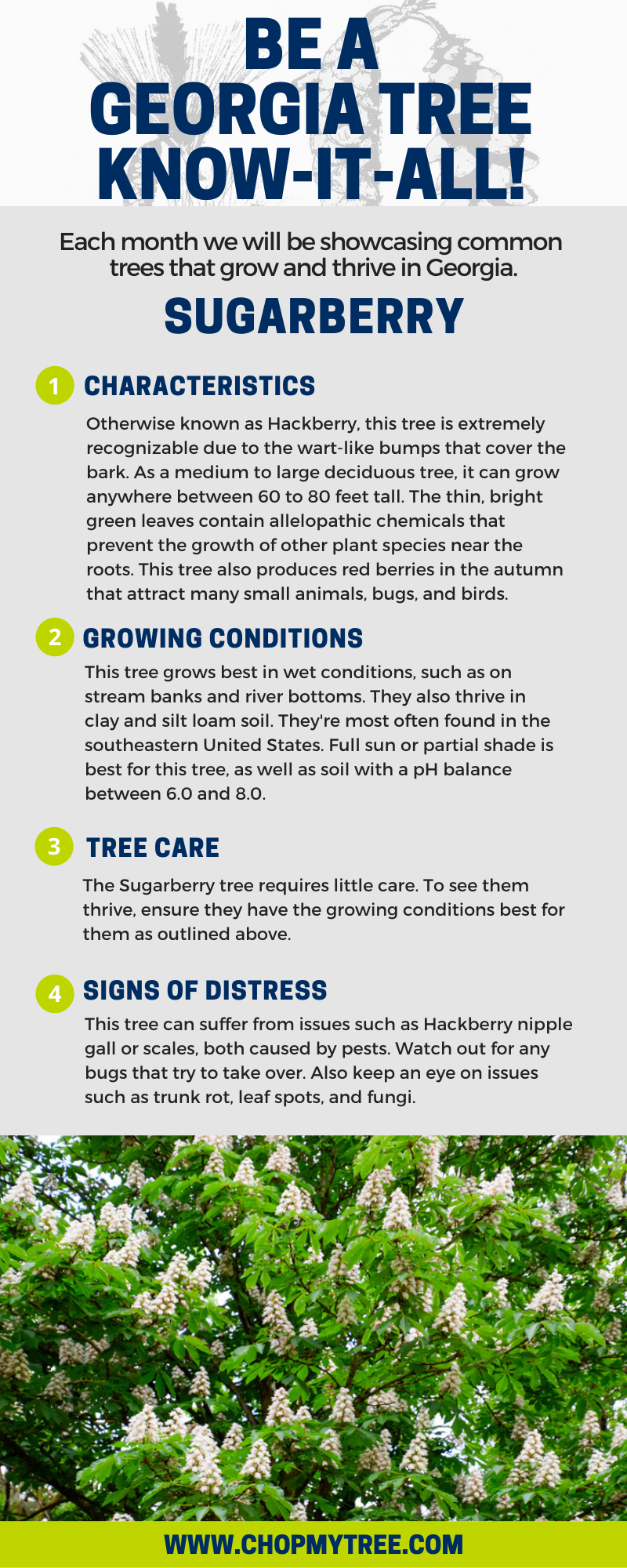 Infographic for Sugarberry Tree.
