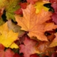Wet, bright leaves of maple lie on the grass, showing The Science Behind Falling Leaves.