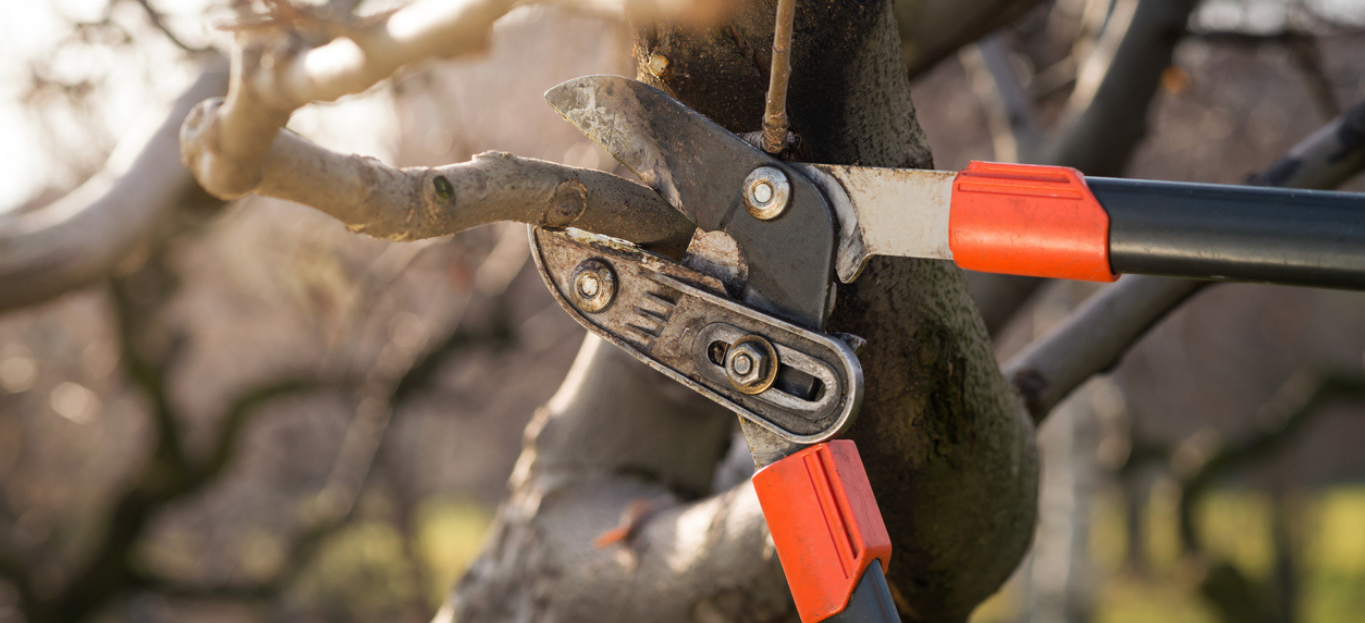 detail of professional pruning shears during winter pruning, highlighting common pruning mistakes you should avoid.