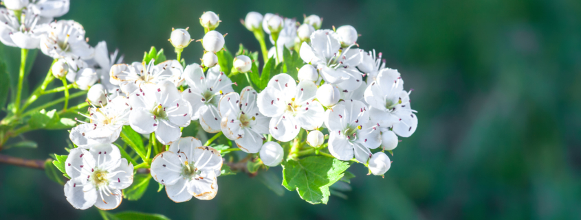 Branch of white flowers on blooming Crataegus monogyna on a green background.
